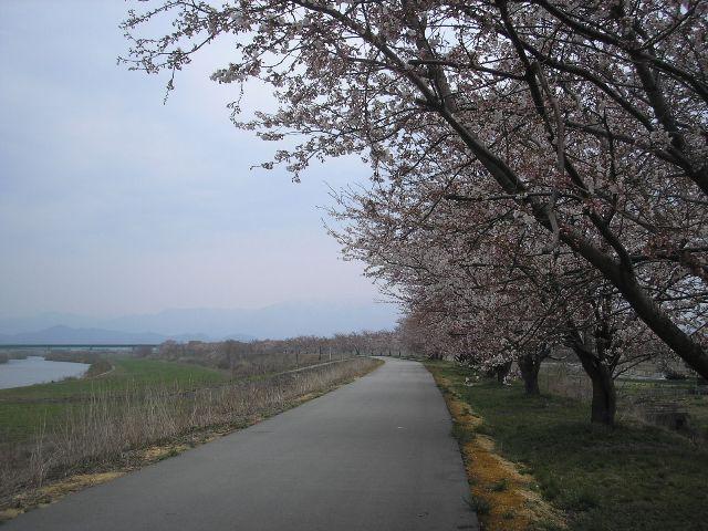 加治川堤防「長堤十里加治川の桜みち」整備 - 新潟県ホームページ